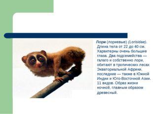 Лори (лориевые) (Lorisidae). Длина тела от 22 до 40 см. Характерны очень бол