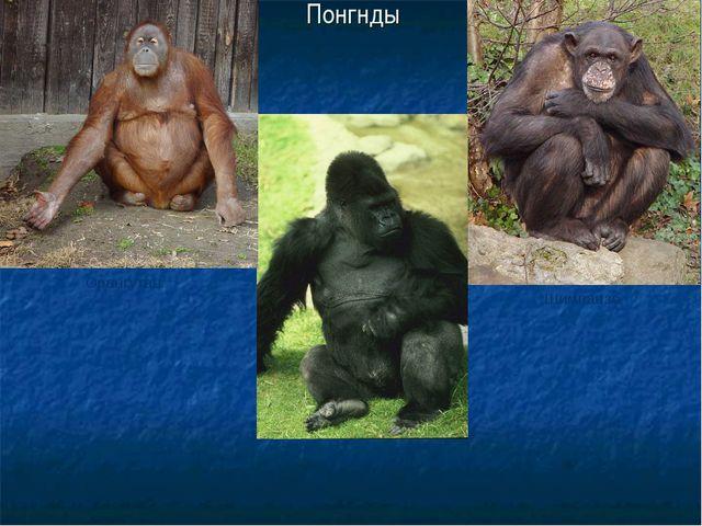 Понгнды Орангутан Горилла Шимпанзе