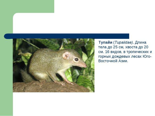 Тупайи (Tupaiidae). Длина тела до 25 см, хвоста до 20 см. 16 видов, в тропич...