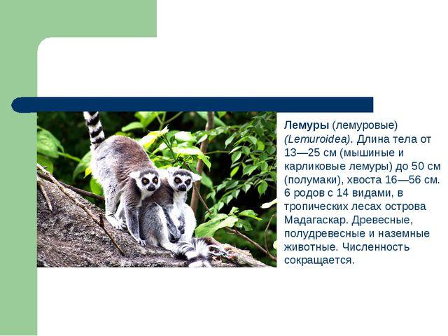 Лемуры (лемуровые) (Lemuroidea). Длина тела от 13—25 см (мышиные и карликовы...
