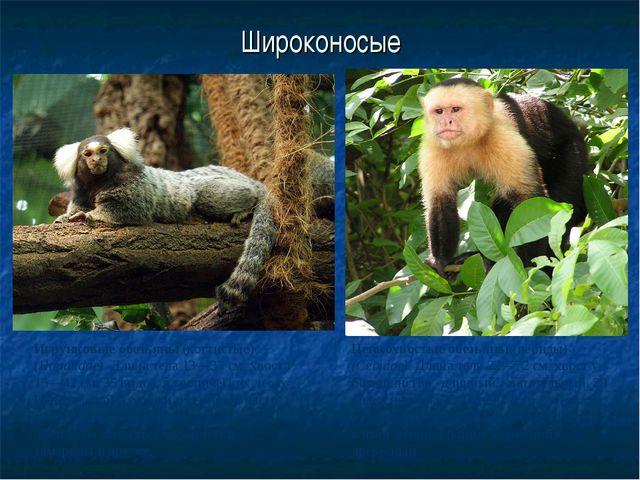 Широконосые Игрунковые обезьяны (когтистые) (Hapalidae). Длина тела 13—37 см,...