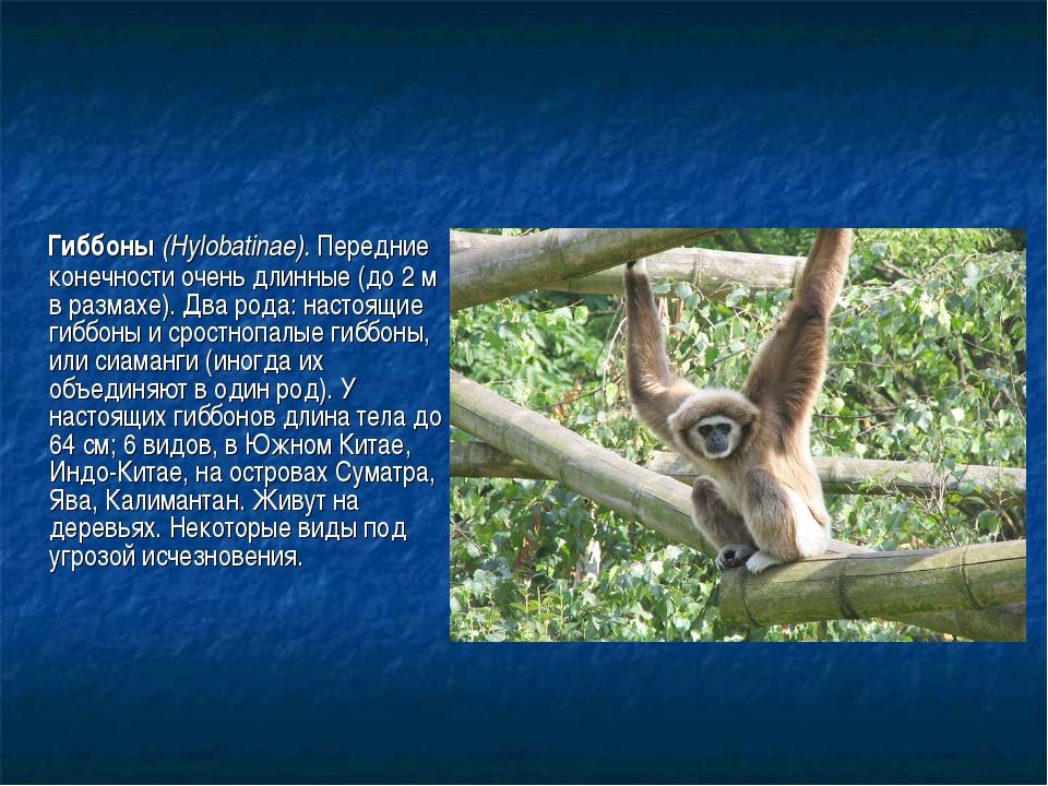 Гиббоны (Hylobatinae). Передние конечности очень длинные (до 2 м в размахе)....
