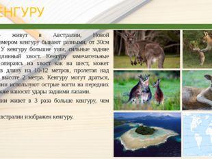 КЕНГУРУ Кенгуру— живут в Австралии, Новой Гвинее.Размером кенгуру бывают р