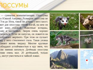 ОПОССУМЫ Опоссумы ― сумчатые млекопитающие. Опоссумы — живут в Южной Амери