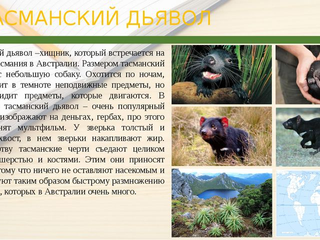 ТАСМАНСКИЙ ДЬЯВОЛ Тасманский дьявол –хищник, который встречается на острове...