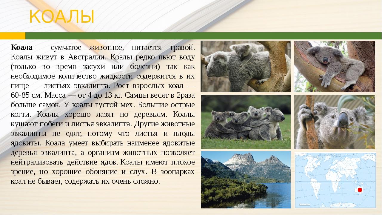 КОАЛЫ Коала— сумчатое животное, питается травой. Коалы живут в Австралии. К...