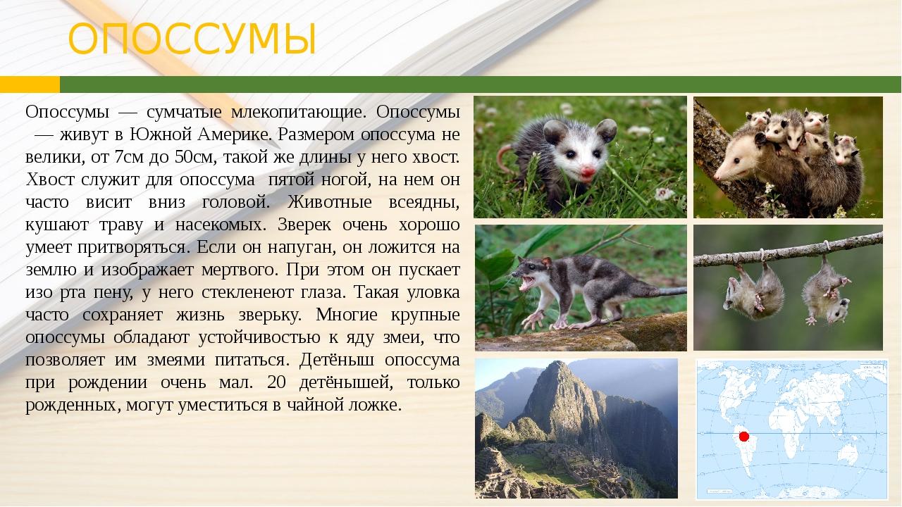 ОПОССУМЫ Опоссумы ― сумчатые млекопитающие. Опоссумы — живут в Южной Амери...