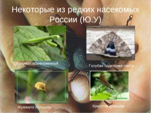 Некоторые из редких насекомых России (Ю.У) Богомол обыкновенный Голубая орден