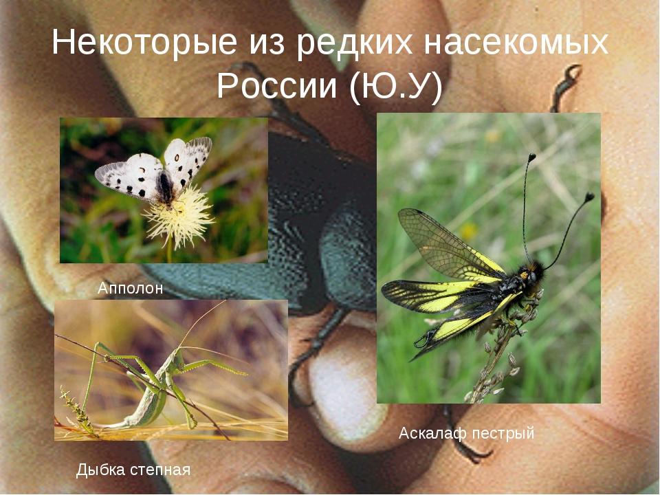 Некоторые из редких насекомых России (Ю.У) Апполон Аскалаф пестрый Дыбка степ...