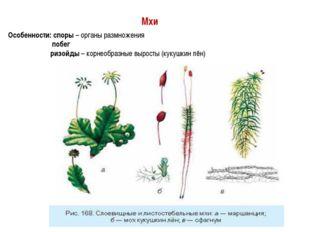Мхи Особенности: споры – органы размножения побег ризойды – корнеобразные выр