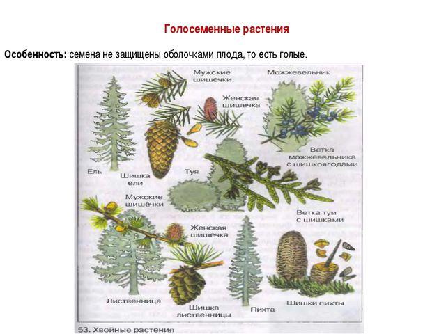 Голосеменные растения Особенность: семена не защищены оболочками плода, то ес...