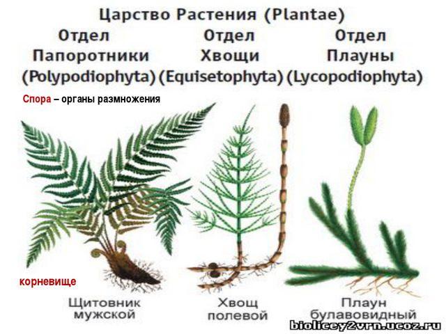 Спора – органы размножения корневище