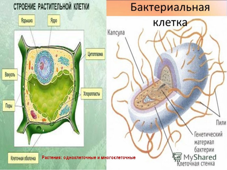 Растения: одноклеточные и многоклеточные