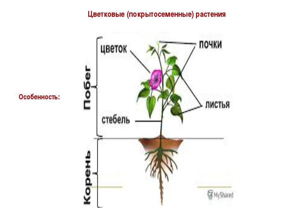 Цветковые (покрытосеменные) растения Особенность: