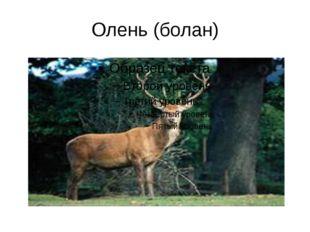 Олень (болан)