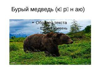 Бурый медведь (көрән аю)