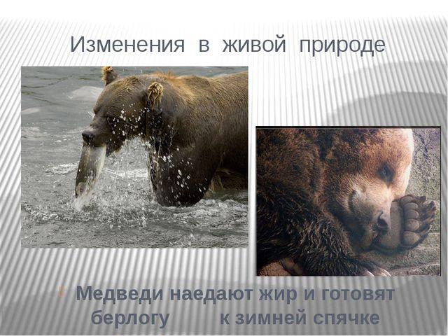 Медведи наедают жир и готовят берлогу к зимней спячке Изменения в живой природе
