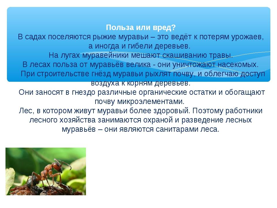 Польза или вред? В садах поселяются рыжие муравьи – это ведёт к потерям урожа...