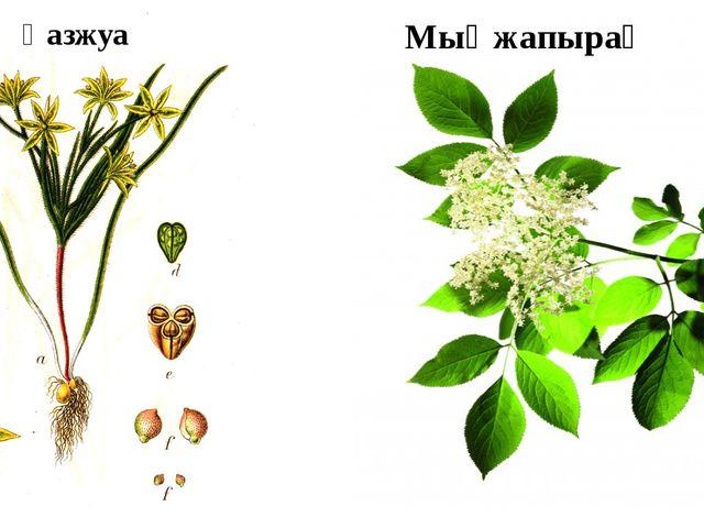 Қазжуа Мыңжапырақ