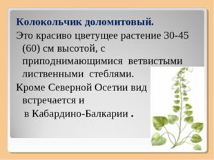 Колокольчик доломитовый. Это красиво цветущее растение 30-45 (60) см высотой,