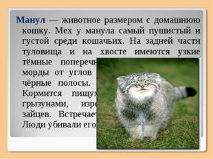Манул — животное размером с домашнюю кошку. Мех у манула самый пушистый и гус