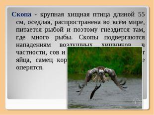 Скопа - крупная хищная птица длиной 55 см, оседлая, распространена во всём ми