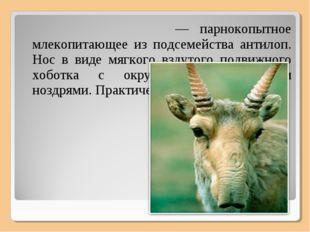 Сайга́, или сайга́к — парнокопытное млекопитающее из подсемейства антилоп. Но