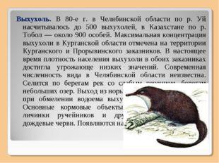 Выхухоль. В 80-е г. в Челябинской области по р. Уй насчитывалось до 500 выхух