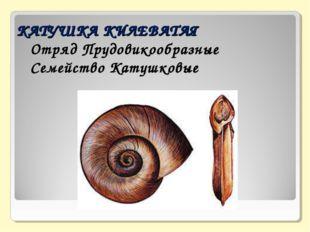 КАТУШКА КИЛЕВАТАЯ  Отряд Прудовикообразные  Семейство Катушковые