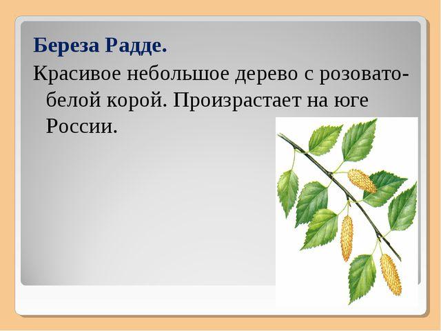 Береза Радде. Красивое небольшое дерево с розовато-белой корой. Произрастает...