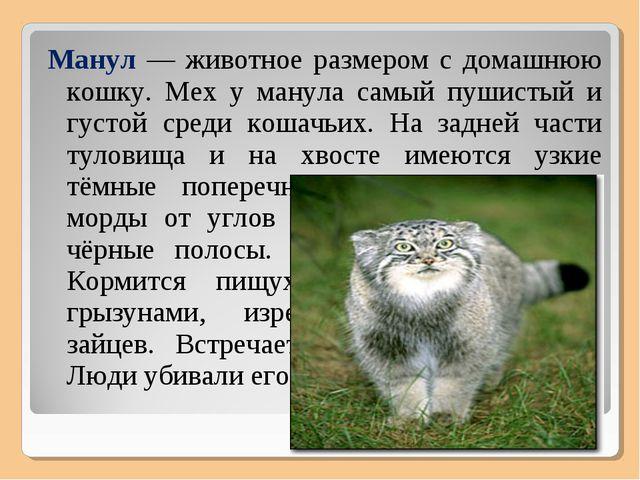 Манул — животное размером с домашнюю кошку. Мех у манула самый пушистый и гус...