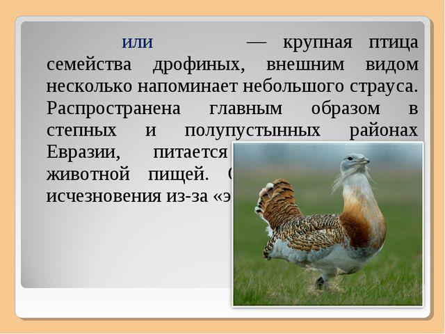 Дрофа́, или дуда́к — крупная птица семейства дрофиных, внешним видом нескольк...
