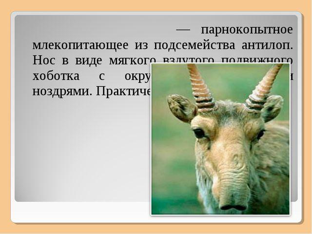 Сайга́, или сайга́к — парнокопытное млекопитающее из подсемейства антилоп. Но...