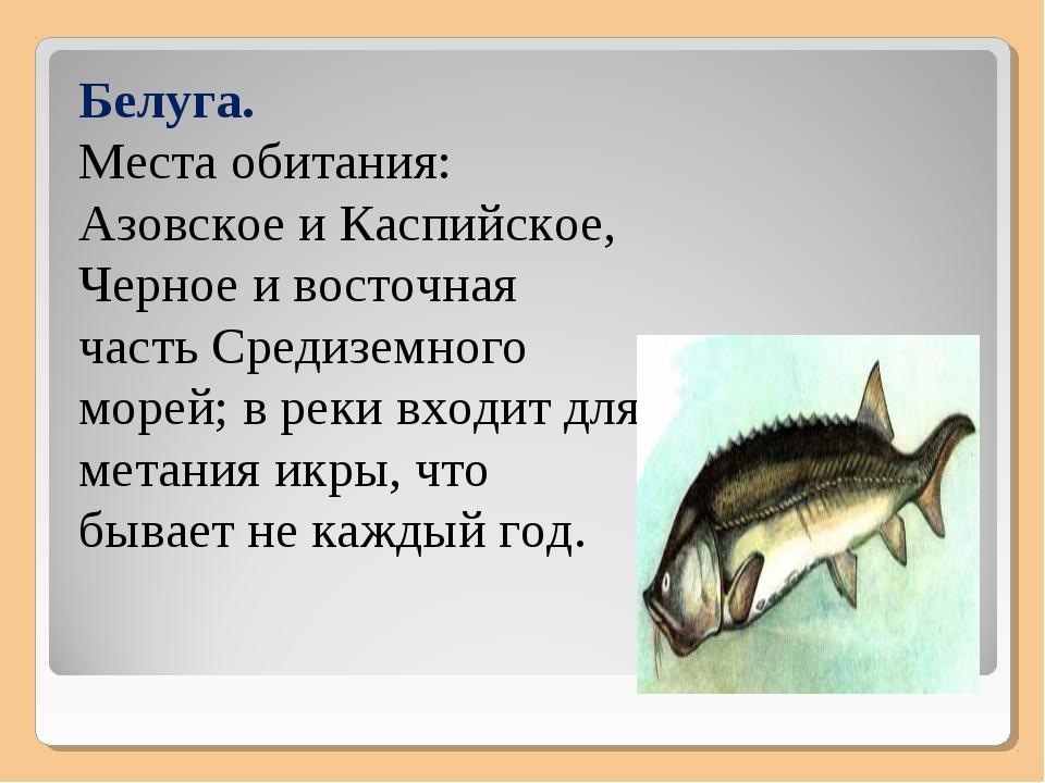 Белуга. Места обитания: Азовское и Каспийское, Черное и восточная часть Среди...