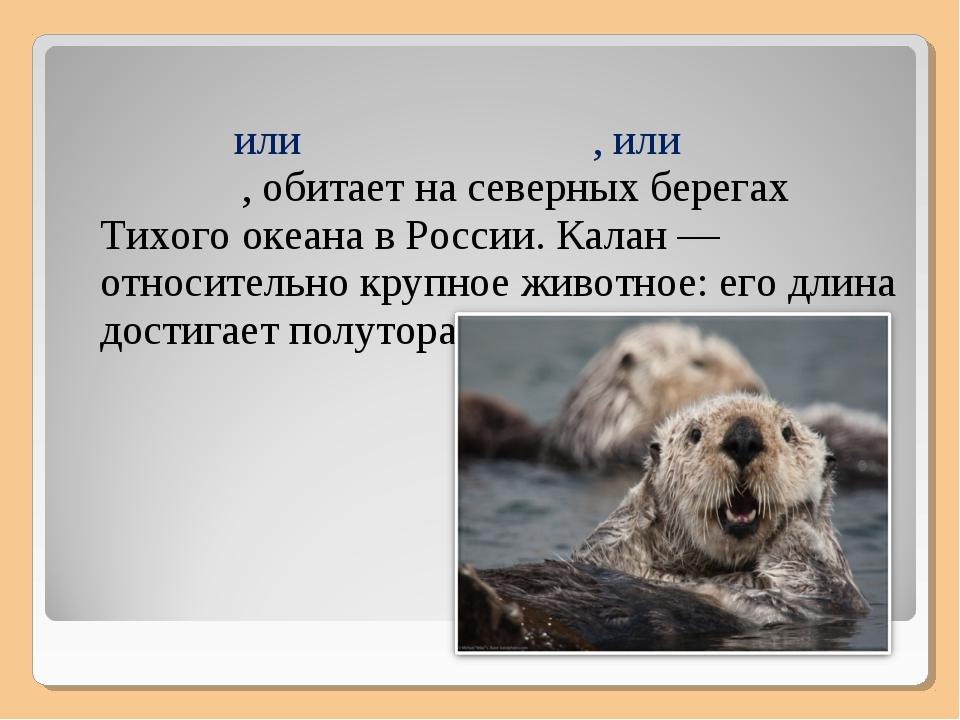 Кала́н, или морско́й бобр, или морска́я вы́дра, обитает на северных берегах...
