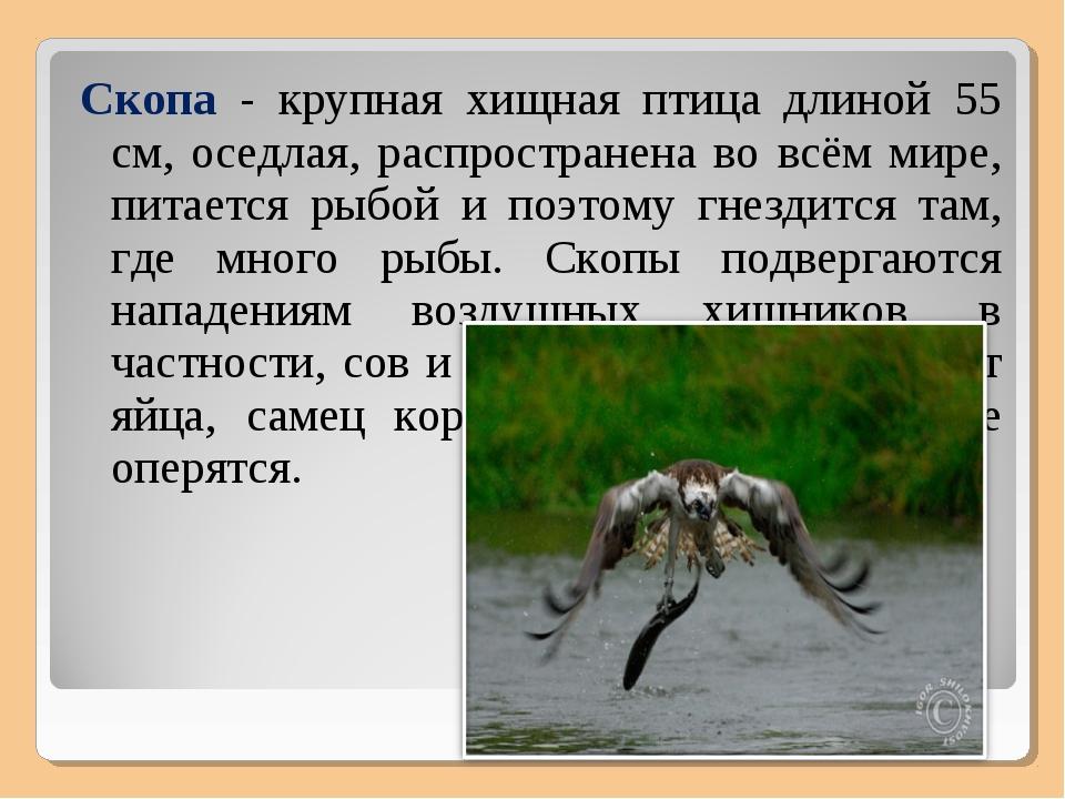 Скопа - крупная хищная птица длиной 55 см, оседлая, распространена во всём ми...