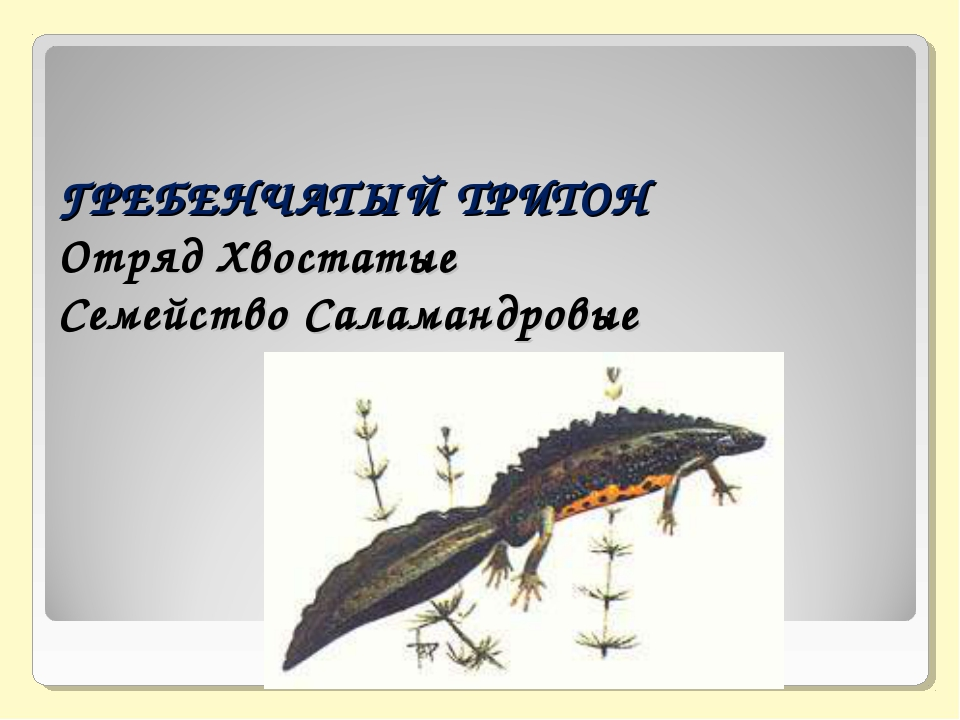 ГРЕБЕНЧАТЫЙ ТРИТОН Отряд Хвостатые Семейство Саламандровые