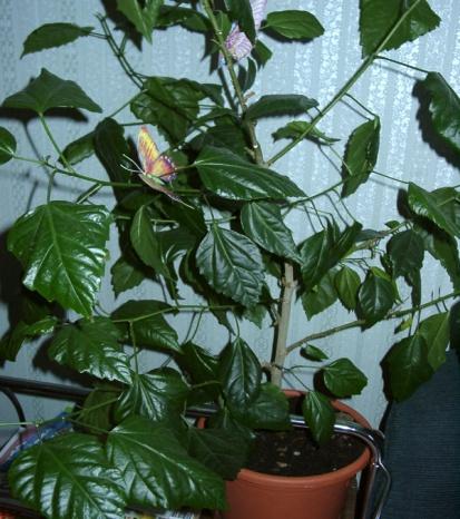 http://www.vse-tsvety.narod.ru/foto-flowers/hibiscus-red/hib-red.jpg