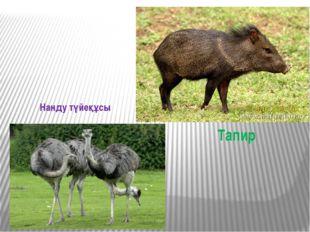 Тапир Нанду түйеқұсы