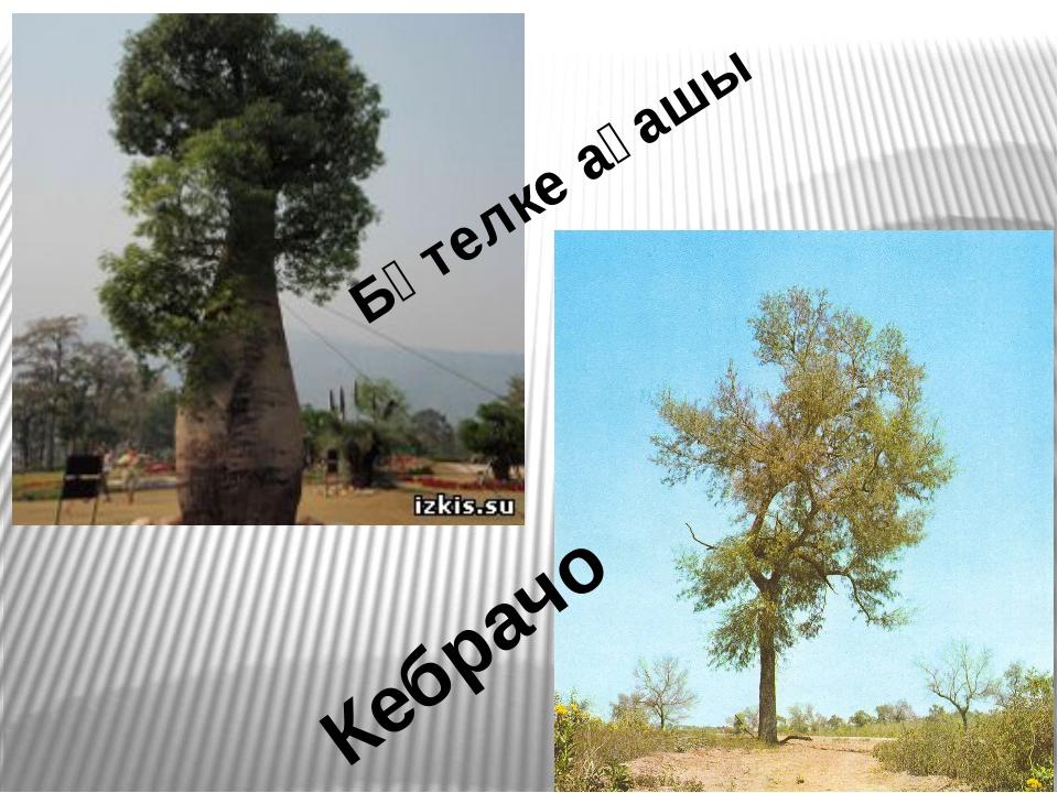 Бөтелке ағашы Кебрачо