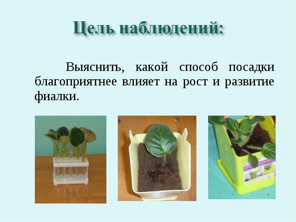 Выяснить, какой способ посадки благоприятнее влияет на рост и развитие фиалки.