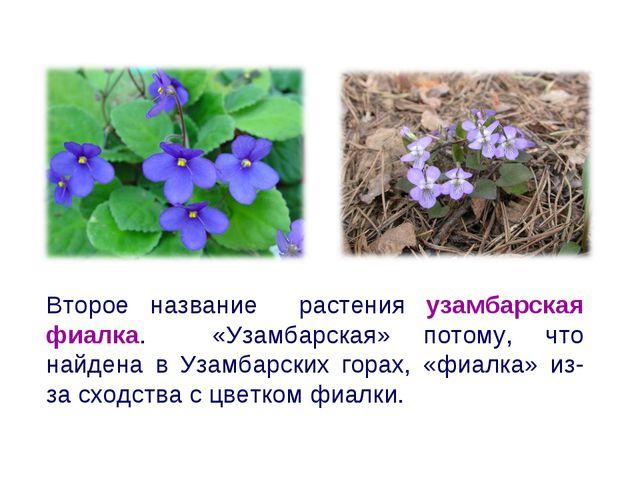 Второе название растения узамбарская фиалка. «Узамбарская» потому, что найден...