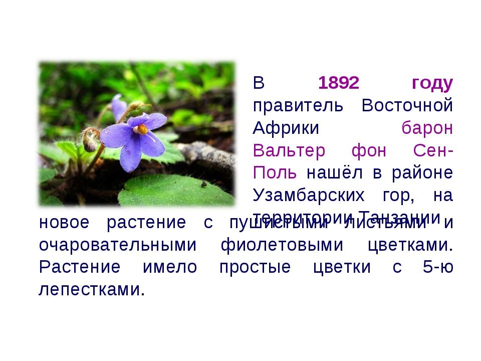новое растение с пушистыми листьями и очаровательными фиолетовыми цветками. Р...