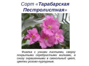 Сорт «Тарабарская Пестролистная» Фиалка с узкими листьями, сверху покрытыми с