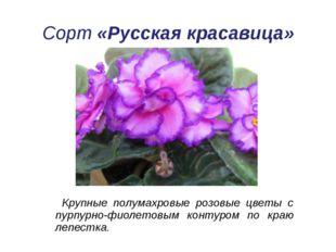 Сорт«Русская красавица» Крупные полумахровые розовые цветы с пурпурно-фиоле