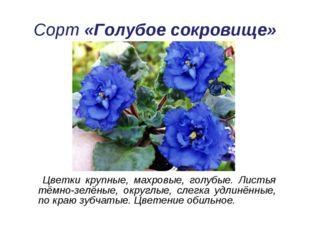 Сорт «Голубое сокровище» Цветки крупные, махровые, голубые. Листья тёмно-зелё
