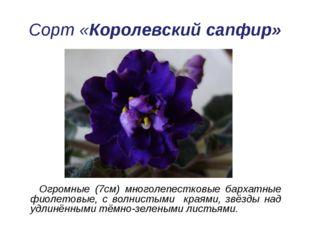 Сорт «Королевский сапфир» Огромные (7см) многолепестковые бархатные фиолетовы