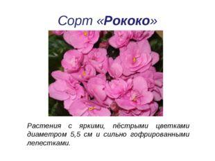 Растения с яркими, пёстрыми цветками диаметром 5,5 см и сильно гофрированными