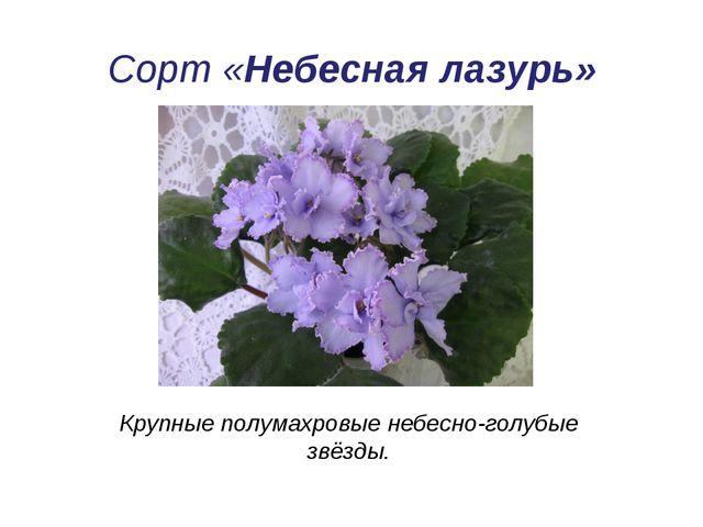 Сорт «Небесная лазурь» Крупные полумахровые небесно-голубые звёзды.