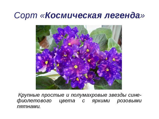 Сорт «Космическая легенда» Крупные простые и полумахровые звезды сине-фиолето...
